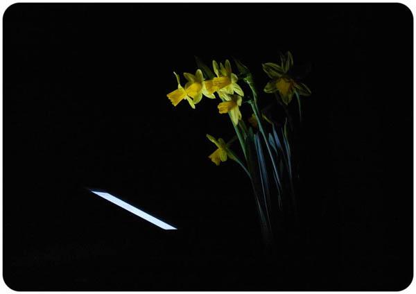 Narcissus poeticus  Impresión digital, forex  22.0 x 31.3 x 0.5 cm  2015